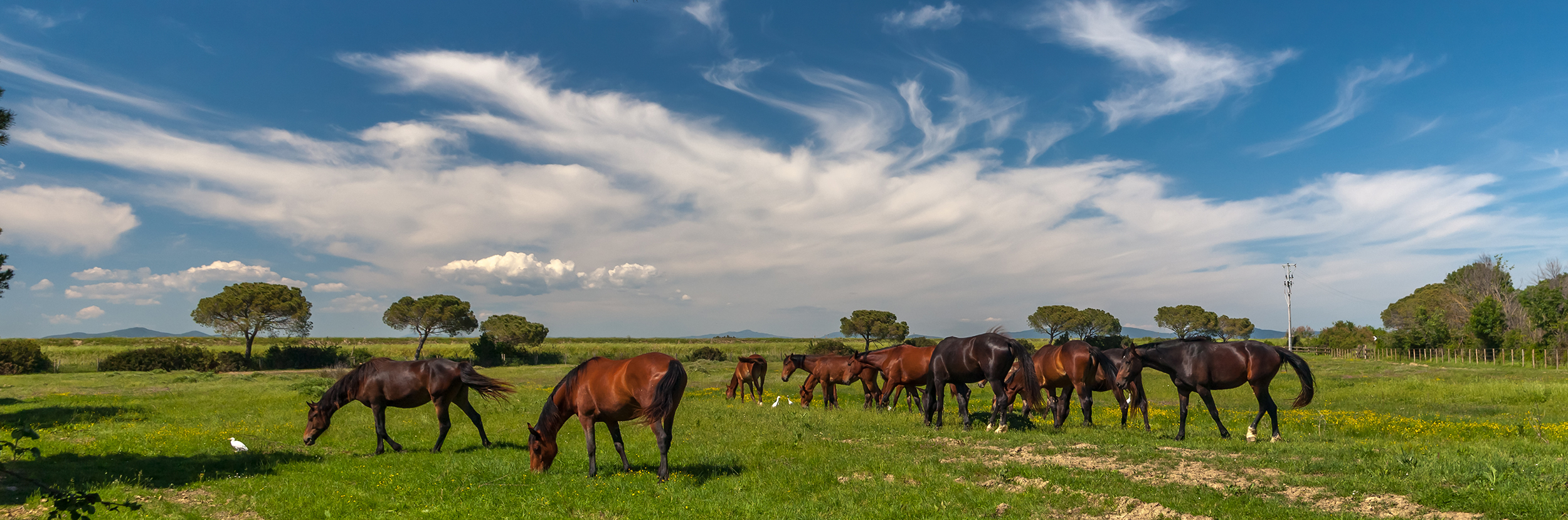 A panorama of a dozen brown horses grazing in a field